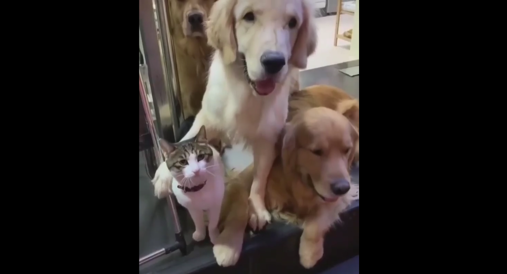 Gatto e Golden Retriever