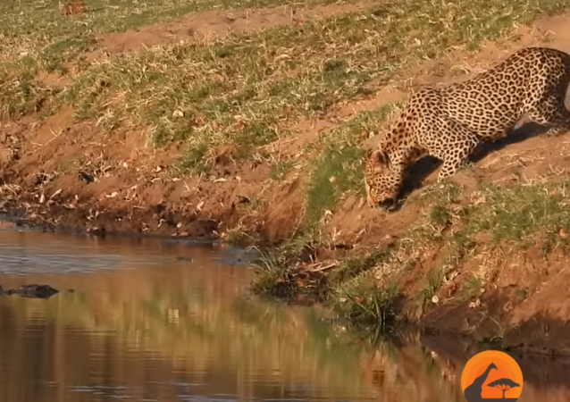 Immortalata in un video la lotta tra un leopardo e un coccodrillo per il cibo