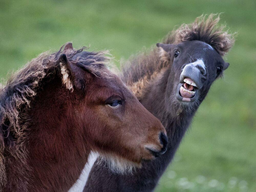 Due puledri di un cavallo islandese giocano a Wehrheim, in Germania.