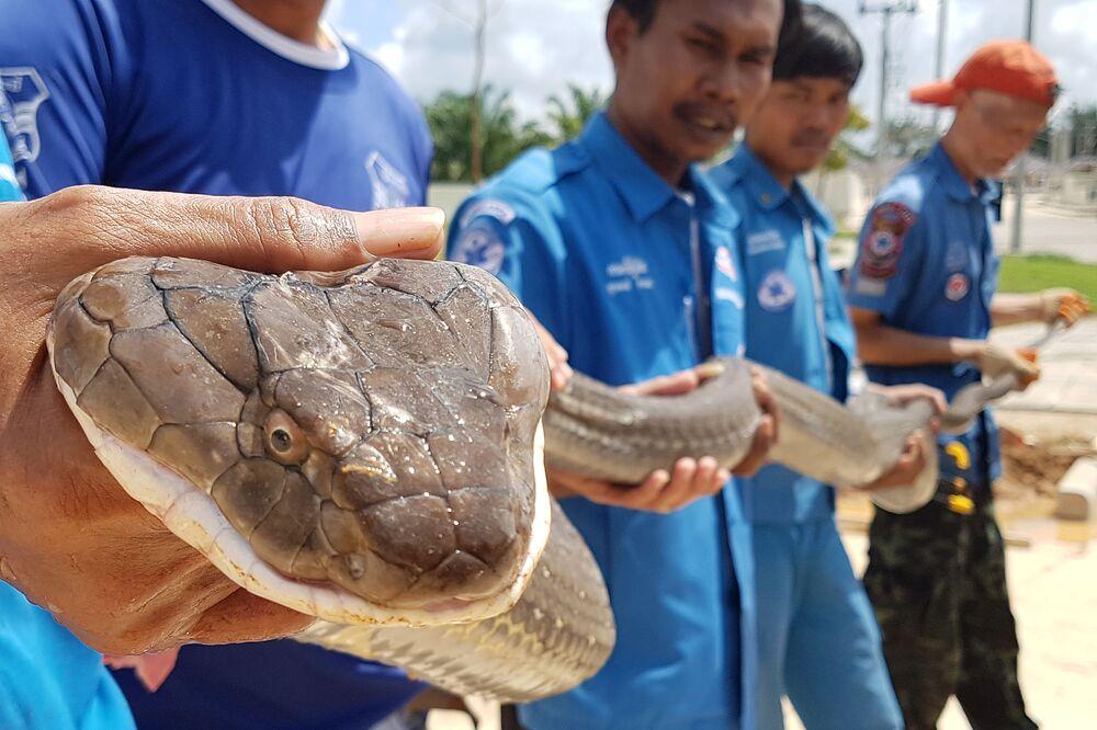 Un cobra reale catturato dalla protezione civile thailandese nella provincia di Krabi.