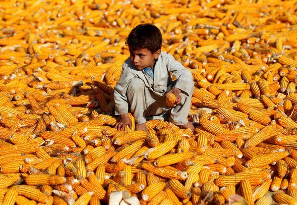 Un bambino in un campo di mais a Nangarhar, in Afghanistan. - Sputnik Italia
