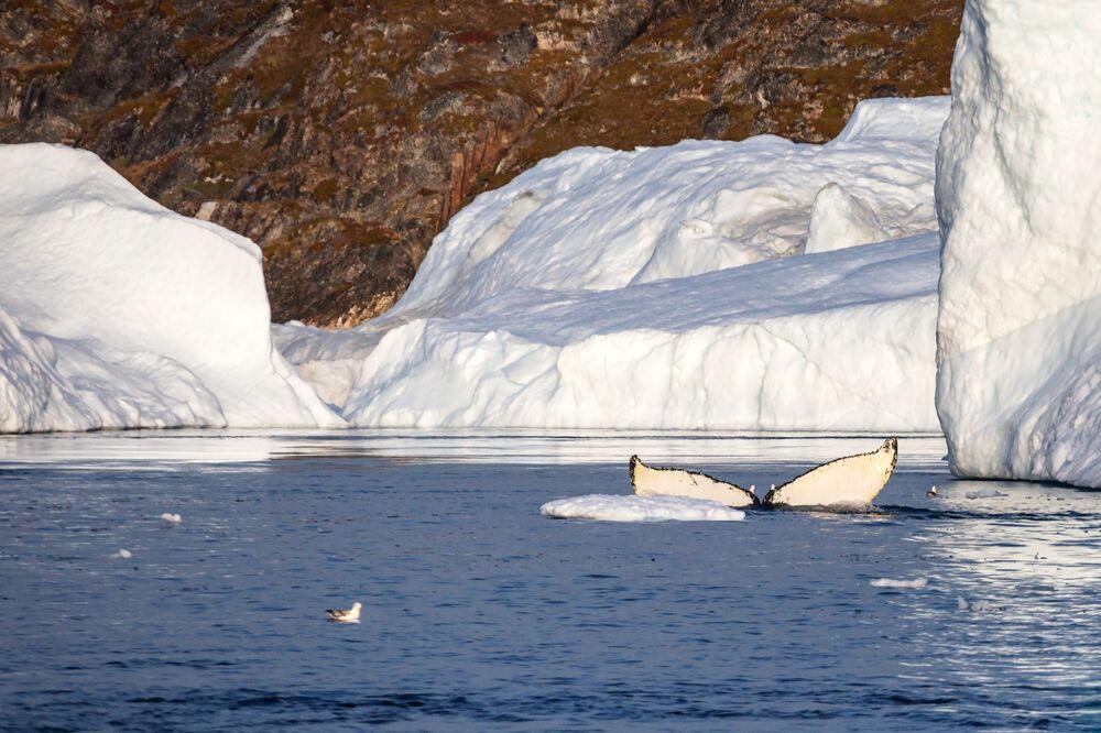 Una balena vicino al Fiordo ghiacciato di Ilulissat nelle acque della Groenlandia
