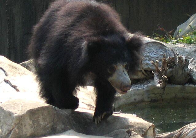 Orso labiato in cattività (Melursus ursinus)