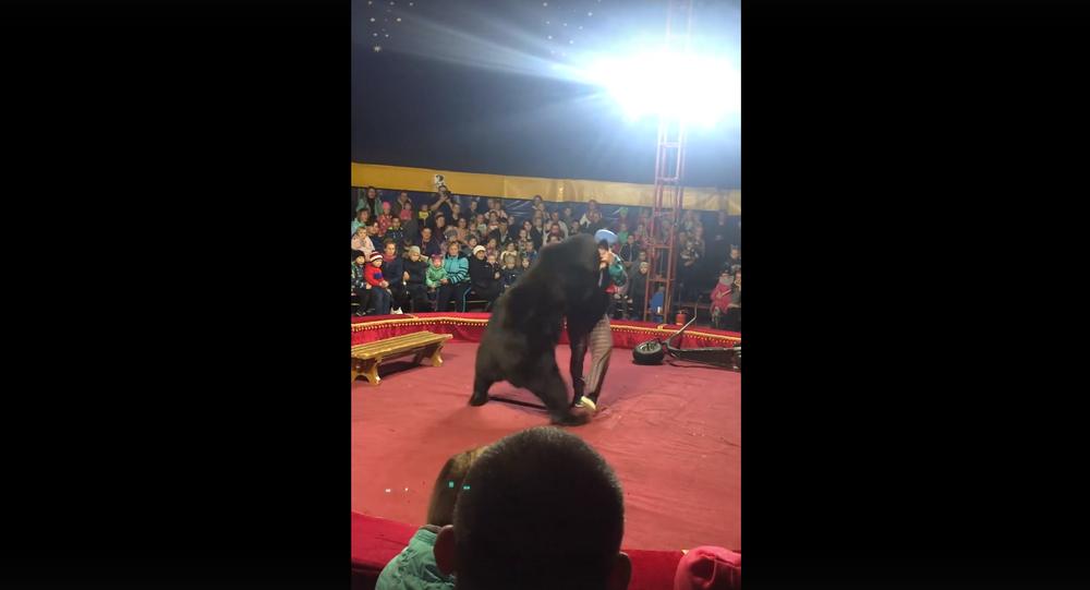 Orso ha attaccato un ammaestratore durante uno spettacolo circense