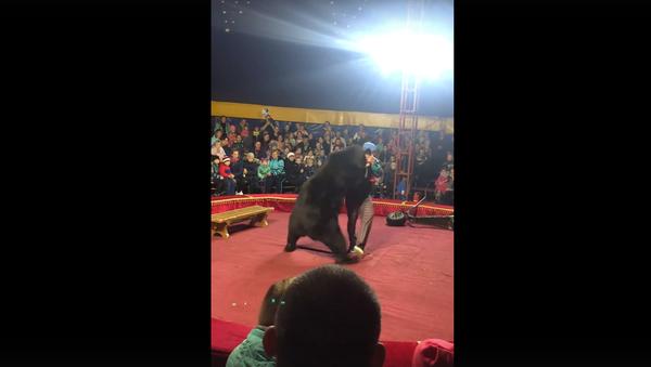 Orso ha attaccato un ammaestratore durante uno spettacolo circense - Sputnik Italia