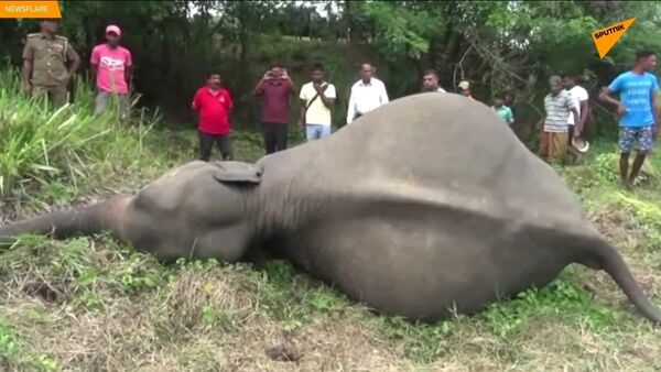 L'uccisione degli elefanti in Sri Lanka - Sputnik Italia