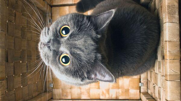 La gatta della razza British Shorthair - Sputnik Italia