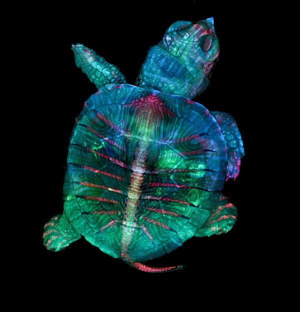 La foto 'Un embrione fluorescente di tartaruga' di Teresa Zgoda e Teresa Kugler (USA), vincitrice del primo premio al concorso fotografico Nikon Small World-2019 - Sputnik Italia