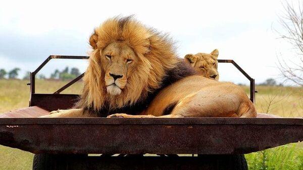 I leoni della riserva naturale di Rietvlei a Pretoria, in Sudafrica - Sputnik Italia