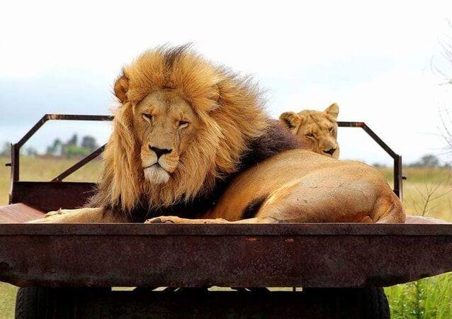 I leoni della riserva naturale di Rietvlei a Pretoria, in Sudafrica