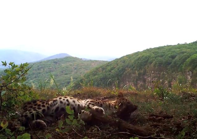 Rarissimo leopardo ripreso nel Leopard national park in Russia