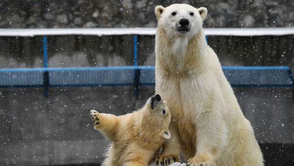 L'orso polare Gerda e il suo cucciolo allo zoo di Novosibirsk. - Sputnik Italia