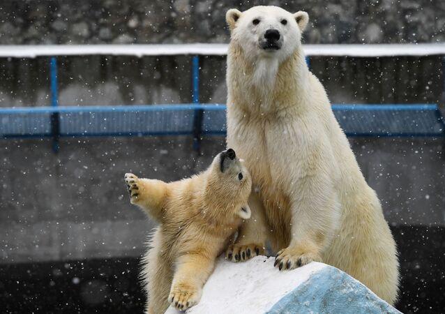 L'orso polare Gerda e il suo cucciolo allo zoo di Novosibirsk.