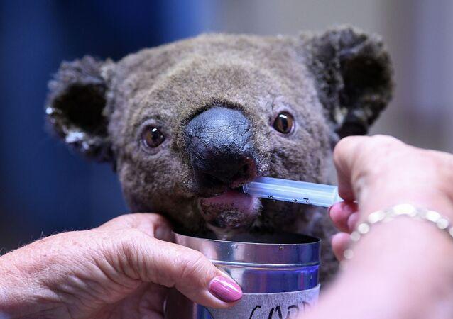 Il koala salvato durante l'incendio in Australia