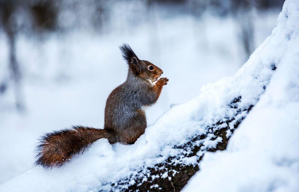 Un scoiattolo nel parco Isola degli scoiattoli a Petrozavodsk, Russia