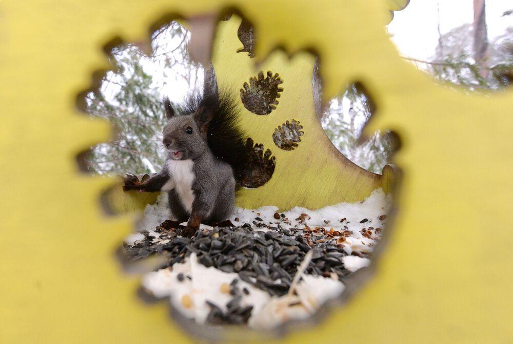 Un scoiattolo nella riserva di Krasnoyarsk, Russia