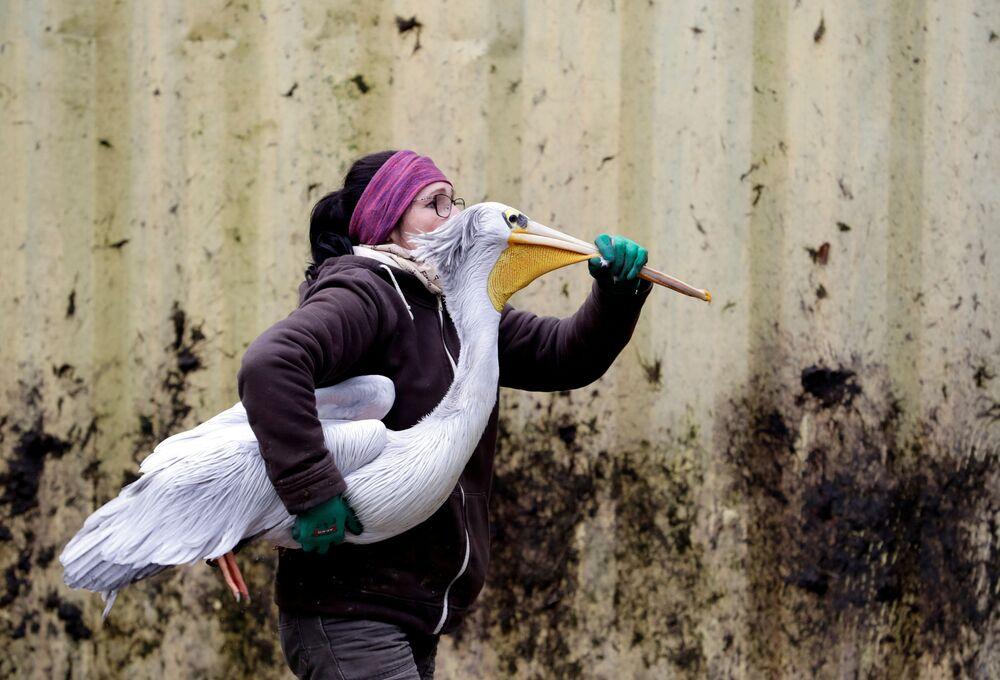Un guardiano dello zoo trasporta un pellicano nel suo recinto invernale in uno zoo di Dvur Kralove nad Labem, Repubblica Ceca