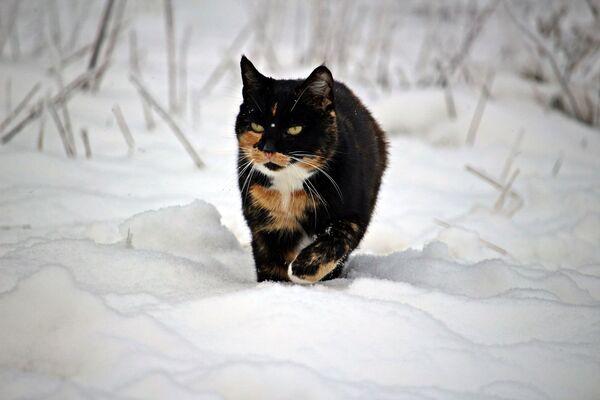Un gatto cammina nella neve - Sputnik Italia