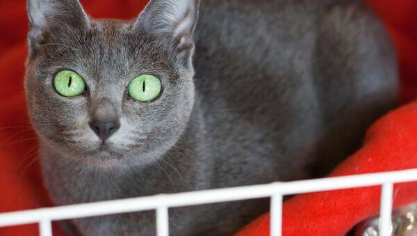 Il gatto di razza Korat - Sputnik Italia
