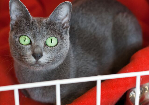 Il gatto di razza Korat
