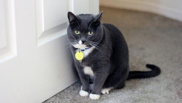 Un gatto guarda la porta - Sputnik Italia