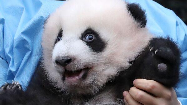 Il cucciolo di panda di tre mesi Bao Di allo zoo di Pairi Daiza a Brugelette, Belgio, il 14 novembre 2019 - Sputnik Italia