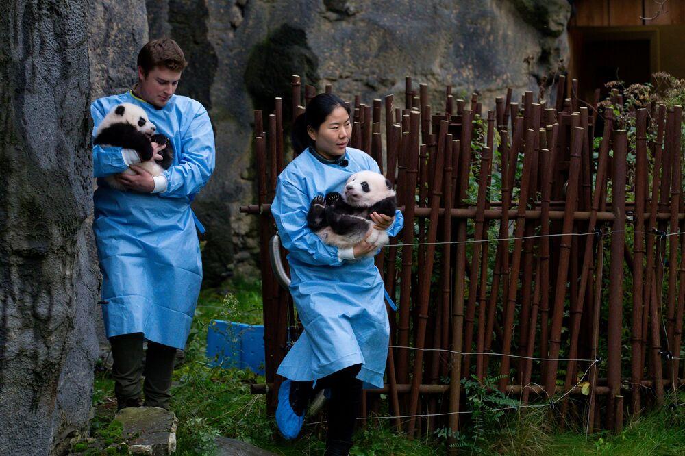 I cuccioli di panda Bao Mei e Bao Di sono nati in agosto allo zoo di Pairi Daiza a Brugelette (Belgio) e hanno 100 giorni