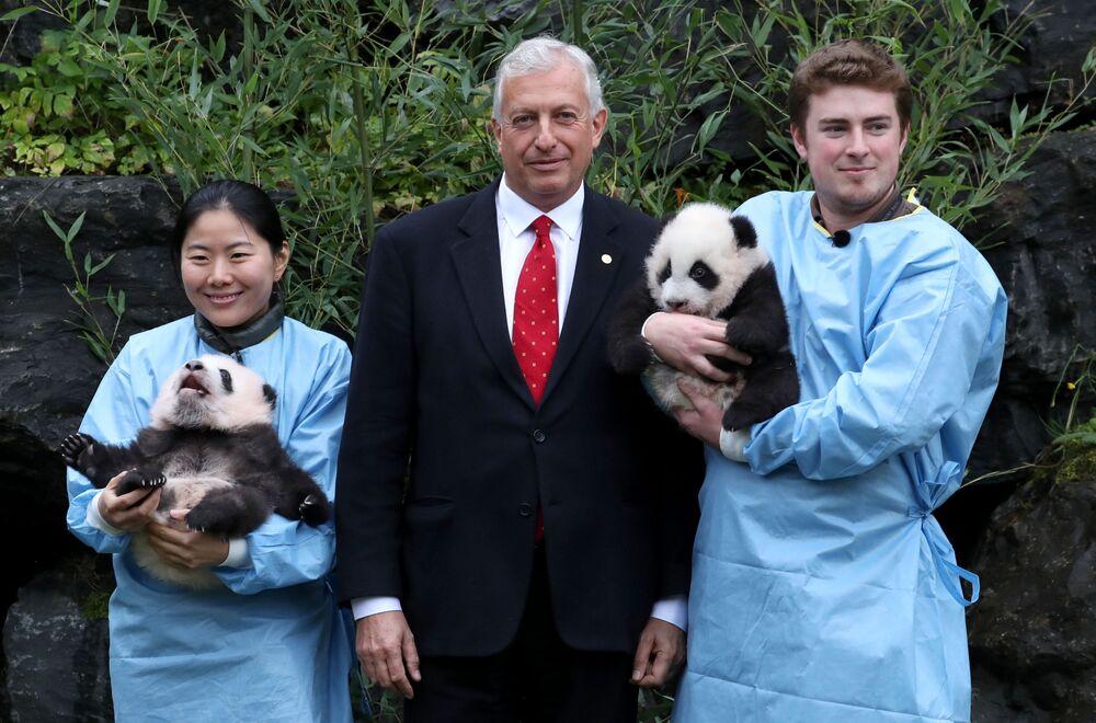 Il presidente del parco Eric Domb con i cuccioli gemelli di panda di tre mesi Bao Di e Bao Mei allo zoo di Pairi Daiza a Brugelette, Belgio, il 14 novembre 2019
