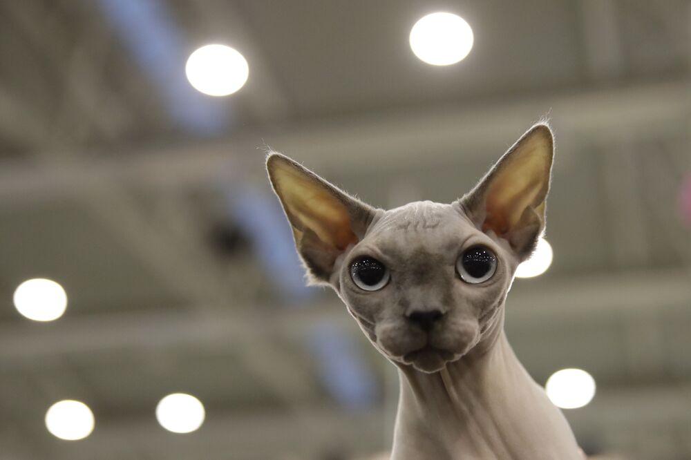 Pelle di Luna (Moon Skin), un gatto Sphynx, partecipa alla fiera dei gatti SuperCat Show 2019 a Roma, il 16 novembre 2019
