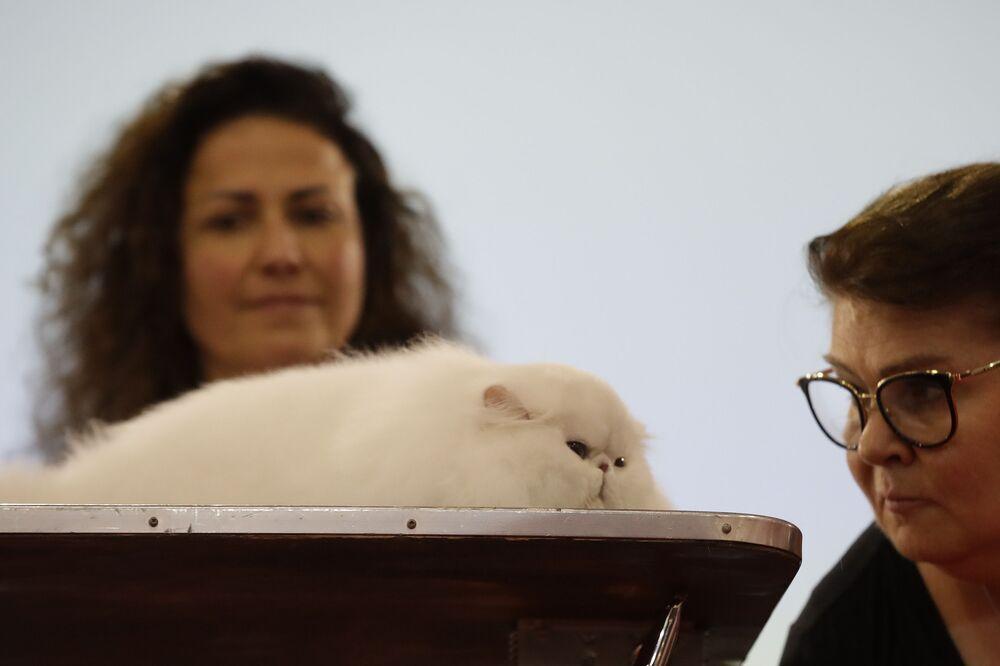 Un giudice osserva un gatto persiano alla fiera dei gatti SuperCat Show 2019 a Roma, il 16 novembre 2019