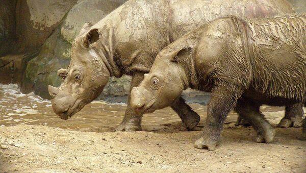 Rinoceronti di Sumatra - Sputnik Italia
