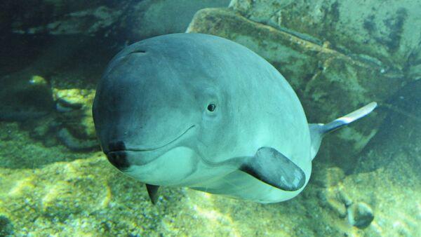Harbour porpoise (Phocoena phocoena)  - Sputnik Italia