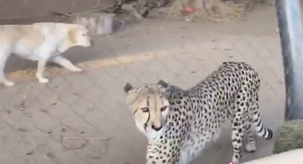 Un cane vive in gabbia con un ghepardo