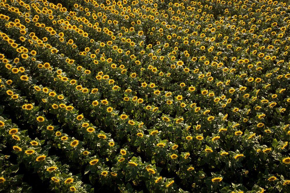 Un campo di girasole in fiore nel territorio di Krasnodar, Russia