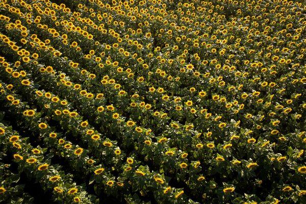 Un campo di girasole in fiore nel territorio di Krasnodar, Russia - Sputnik Italia