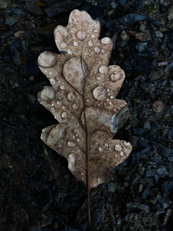 Una foglia di quercia in Crimea. - Sputnik Italia
