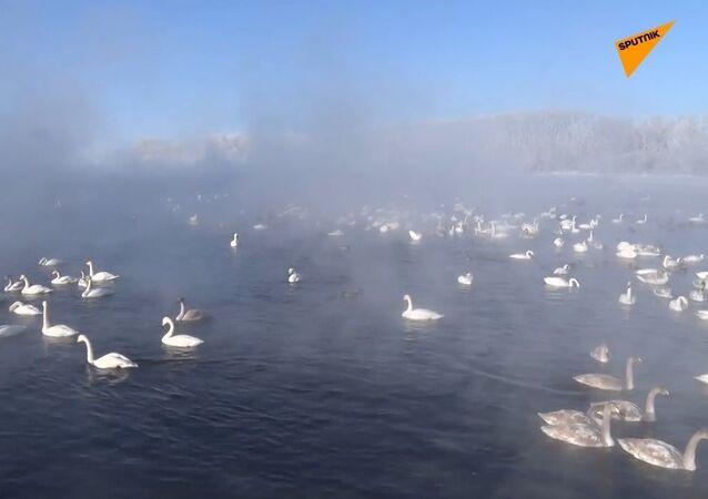 Il lago dei cigni uccelli