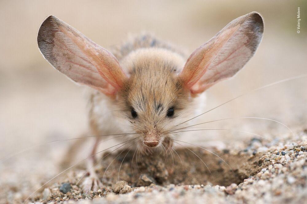 La foto Big ears del fotografo russo Valeriy Maleev