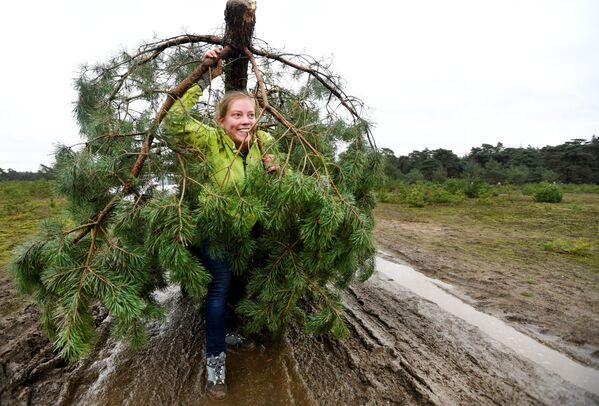 Una donna trasporta il suo albero di Natale dal Parco nazionale olandese De Hoge Veluwe, Paesi Bassi, il 7 dicembre 2019 - Sputnik Italia