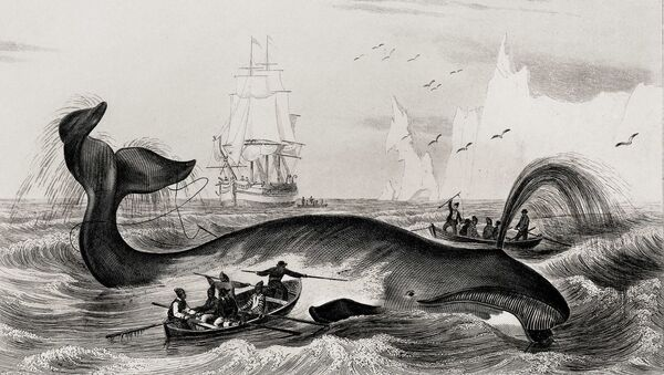Balaena mysticetus (Bowhead whale) - Sputnik Italia