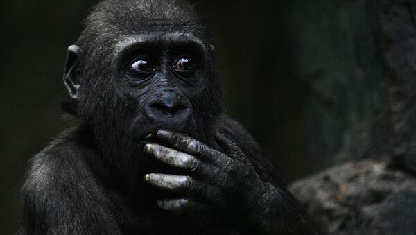 Gorilla - Sputnik Italia