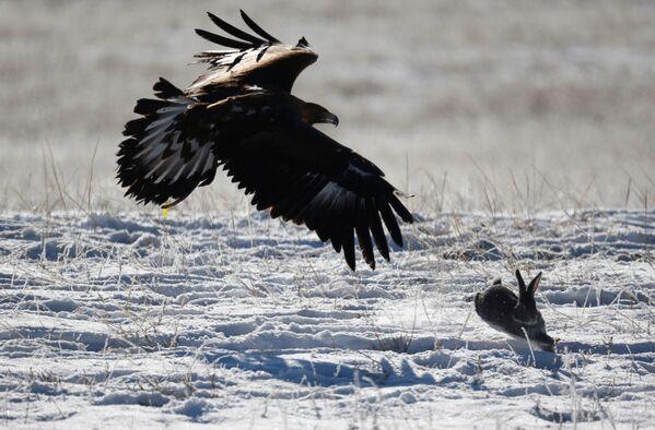 Un'aquila insegue una lepre durante una tradizionale competizione di caccia, Kazakistan - Sputnik Italia