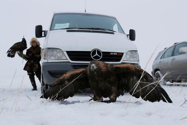 Un'aquila durante una tradizionale competizione di caccia, Kazakistan - Sputnik Italia