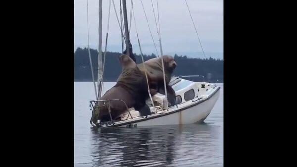 Maestosa coppia di foche si rilassa su un piccolo yacht  - Sputnik Italia