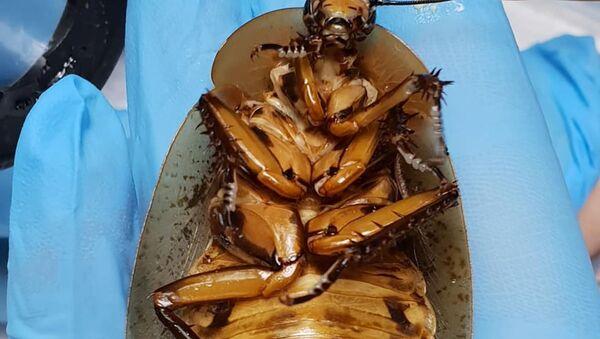 Medici siberiani hanno operato con successo una femmina di scarafaggio - Sputnik Italia