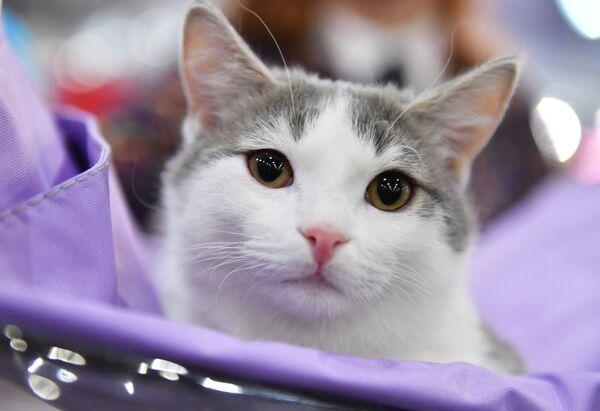 Un gatto partecipa ad un concorso a Mosca, Russia - Sputnik Italia