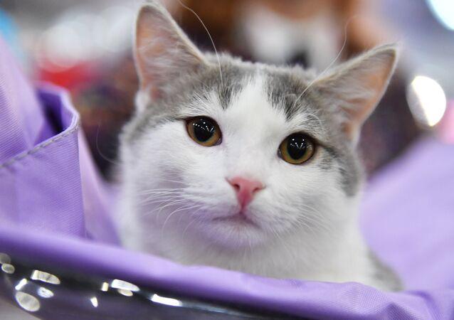 Un gatto partecipa ad un concorso a Mosca, Russia