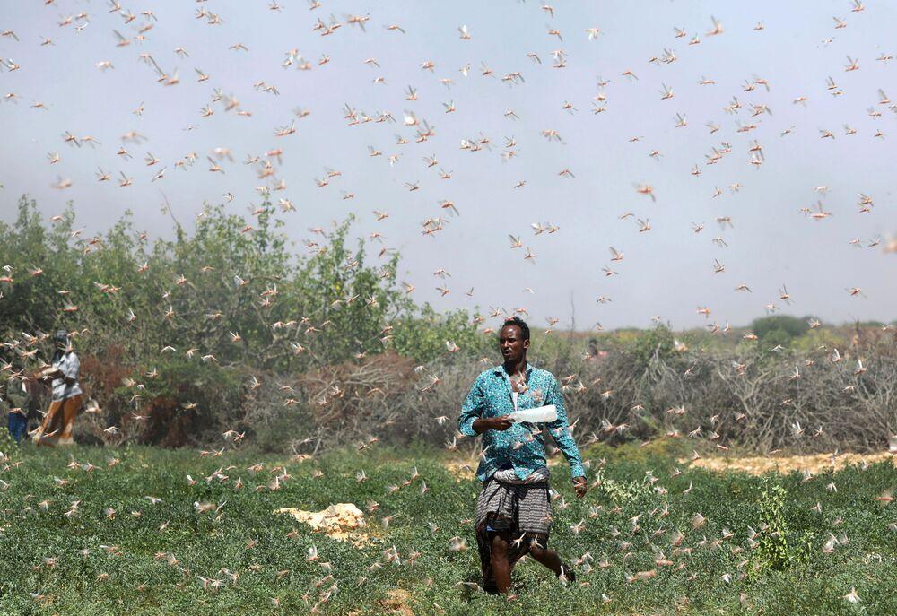 Un contadino somalo durante l'invasione delle locuste, Somalia, il 21 dicembre 2019