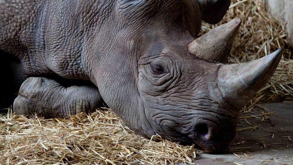 Rinoceronte nero (Archivio) - Sputnik Italia