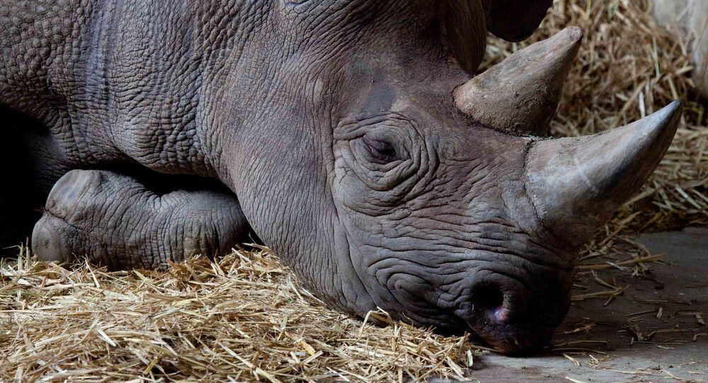 Rinoceronte negro (Archivo)